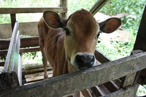 051810_Costa_Rica_Baby_Cow (c) Deanna Ting